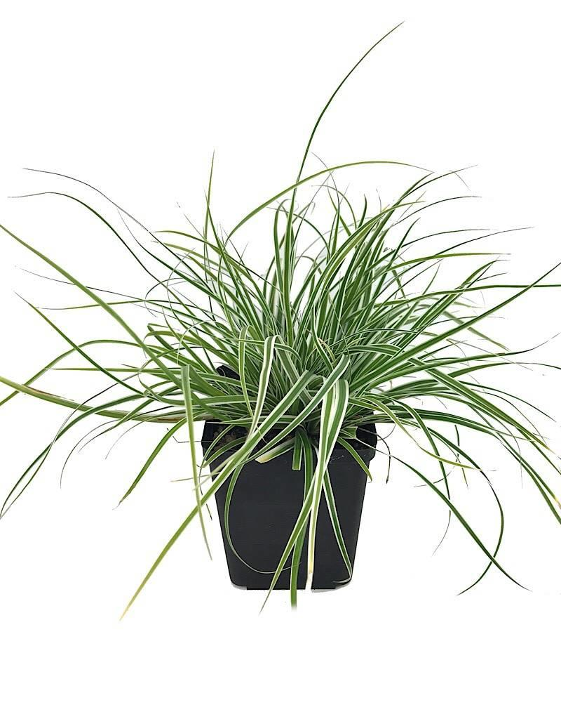 Carex 'Everest' - Quart