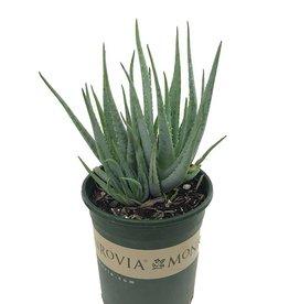 Aloe 'Blue Elf' - 1 gal