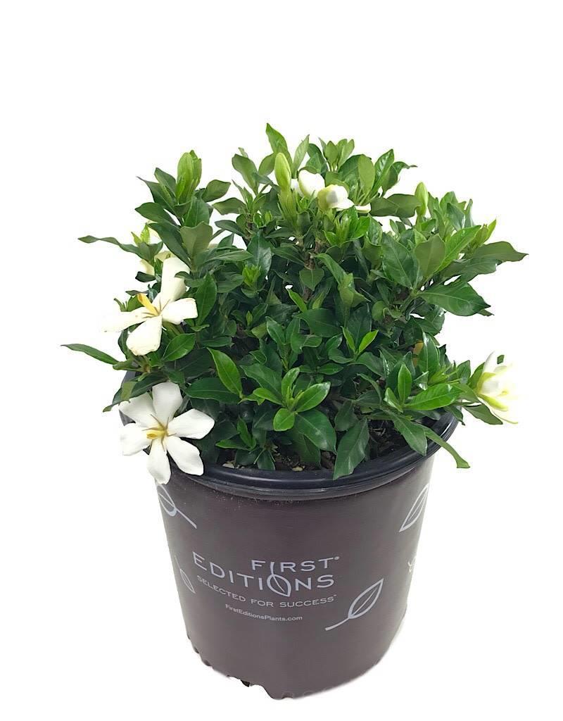 Gardenia jasminoides 'Sweet Star' - 2 gal