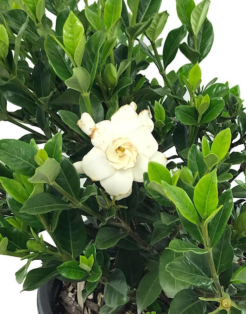 Gardenia jasminoides 'Double Mint' - 2 gal