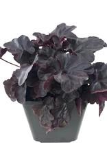 Heuchera 'Obsidian' - 1 gal