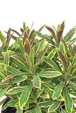Euphorbia 'Ascot Rainbow' - 1 gal