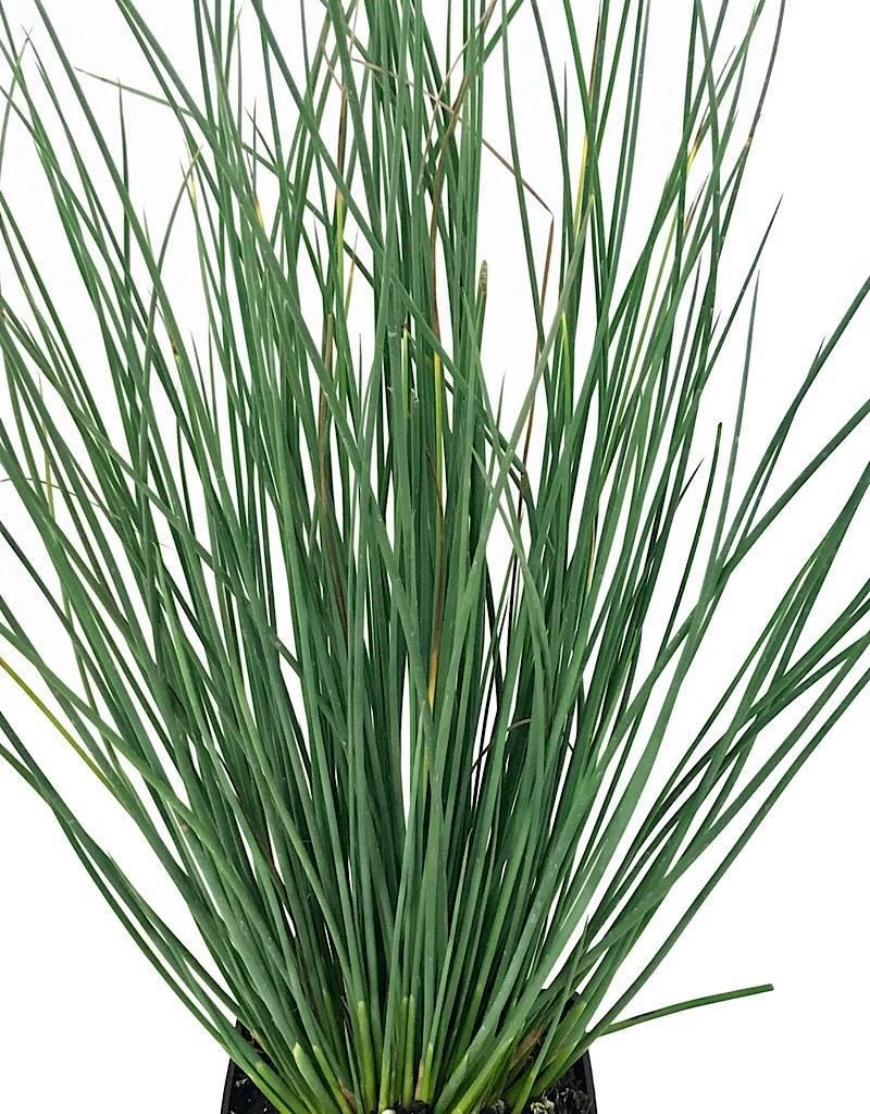 Juncus 'Blue Arrows' - 4 inch