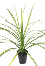 Cordyline 'Dancing Jive'- Quart