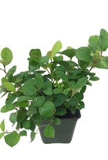 Gaultheria shallon - 4 inch