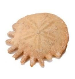 "Squire Boone Village Fossil Sand Dollar from Morocco (1"" Diameter)"