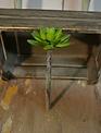 Green Star Chick Succulent