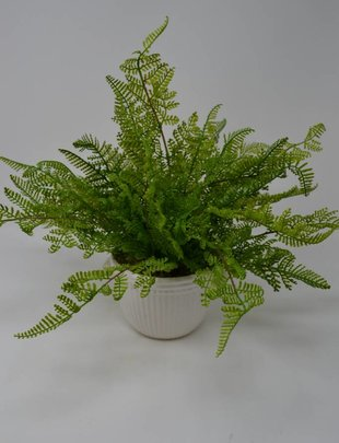 Potted Lace Fern Custom