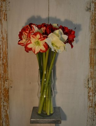 Large Amaryllis (3 Colors)