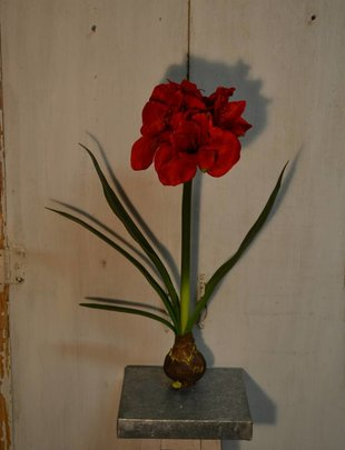 Amaryllis With Bulb (2 Colors)