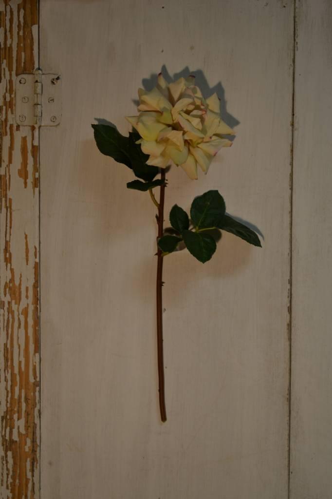 Cream Duchess Rose