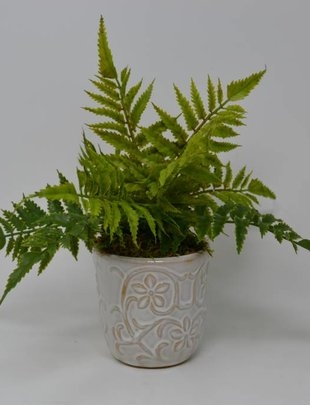 Small Forest Fern In Daisy Pot
