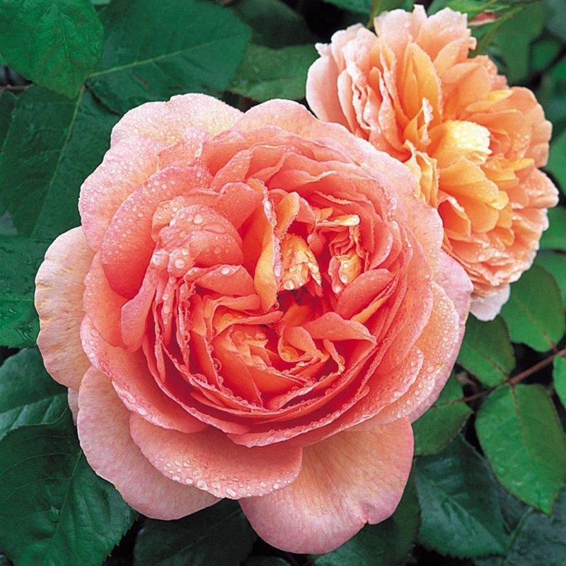 Rose 'Abraham Darby'