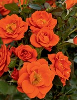 Rose 'All a Twitter Miniature'