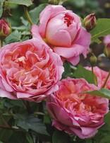 Rose 'Boscobel'