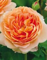 Rose 'Carding Mill'