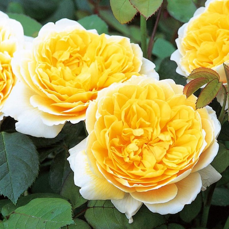 Rose 'Charlotte'