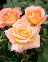 Rose 'Cutie Pie Miniature'