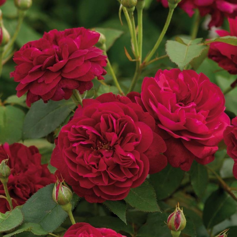 Rose 'Darcey Bussell'