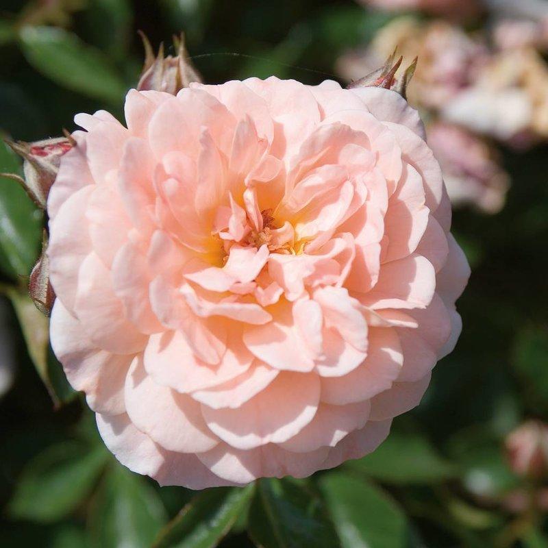 Rose 'Drift Apricot 3 gal