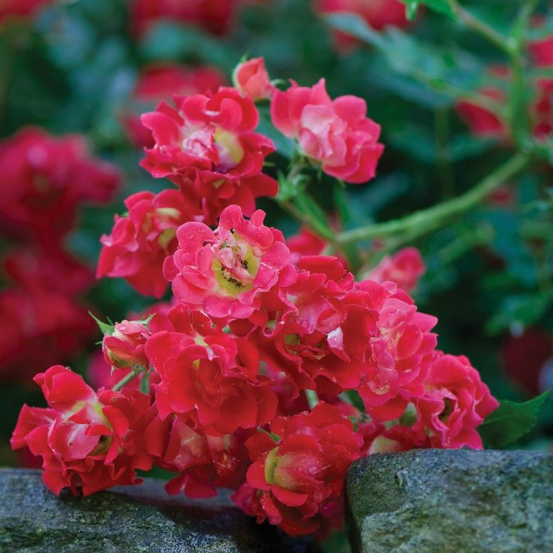 Rose 'Drift Red 3 gal