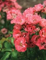 Rose 'Fairy Meidiland'