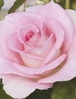 Rose 'Falling In Love'