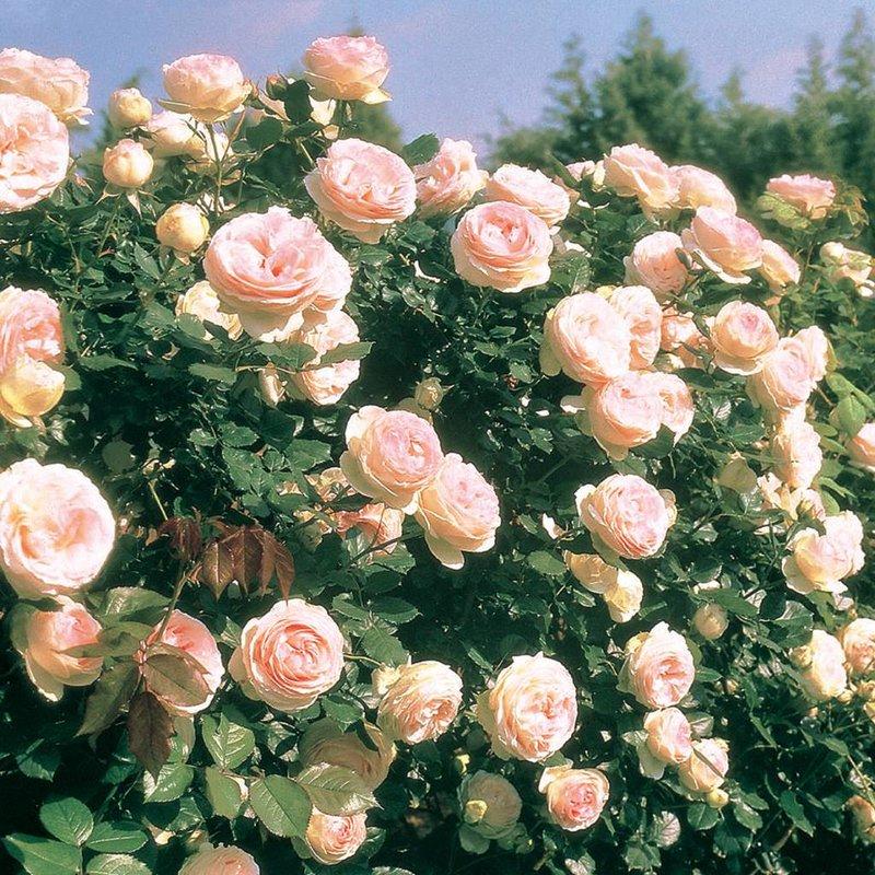 Rose 'Eden Climber'