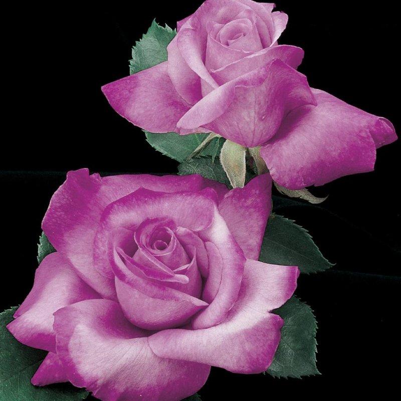 Rose 'Fragrant Plum'