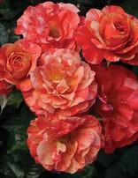 Rose 'Frida Kahlo'