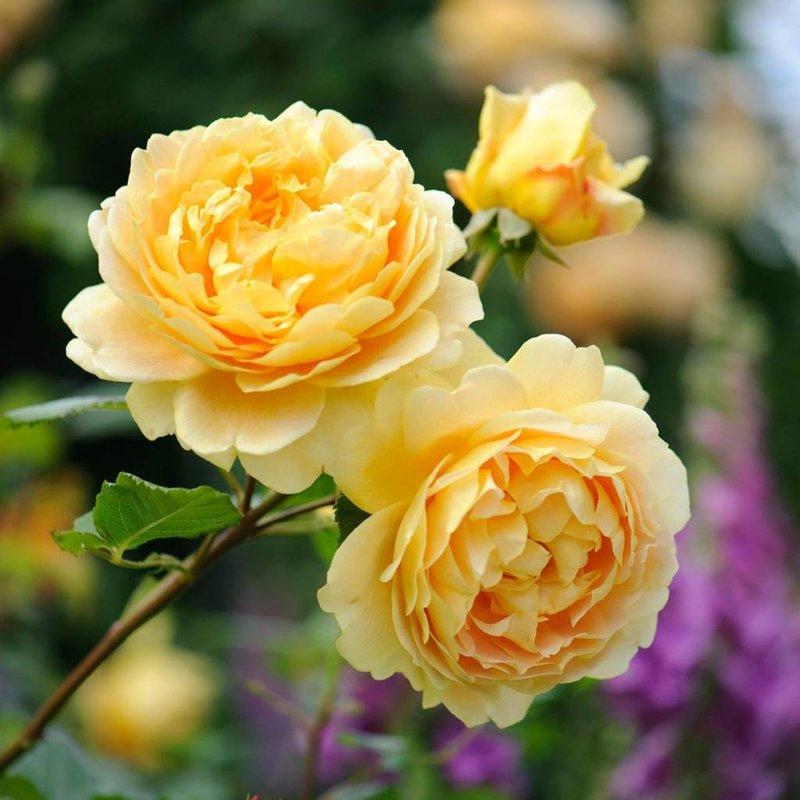 Rose 'Golden Celebration'