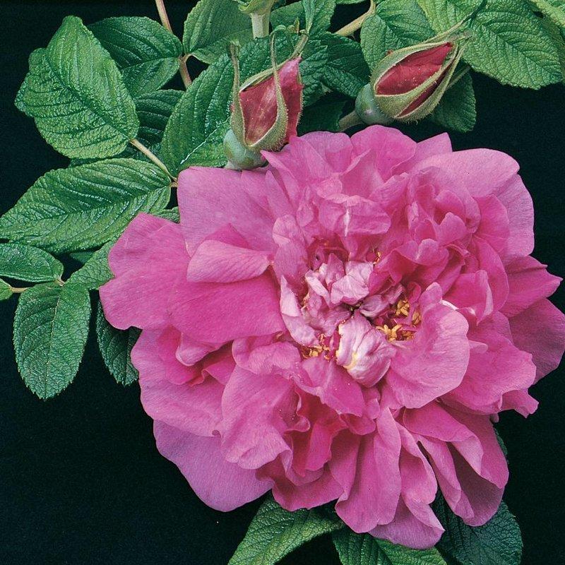 Rose 'Hansa Rugosa'