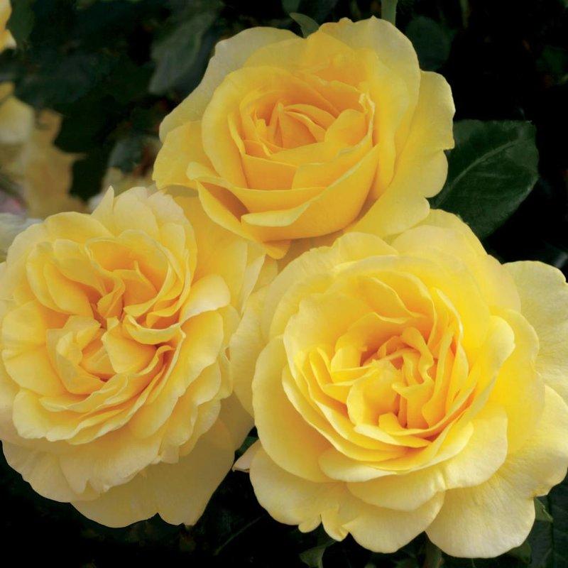 Rose 'Happy Go Lucky'