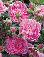 Rose 'Harlow Carr'