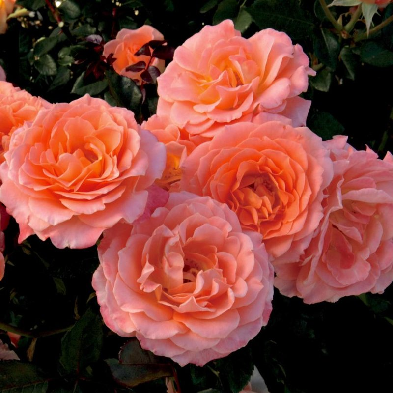 Rose 'Jump For Joy'