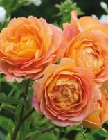 Rose 'Lady of Shalott'