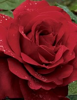 Rose 'Legends'