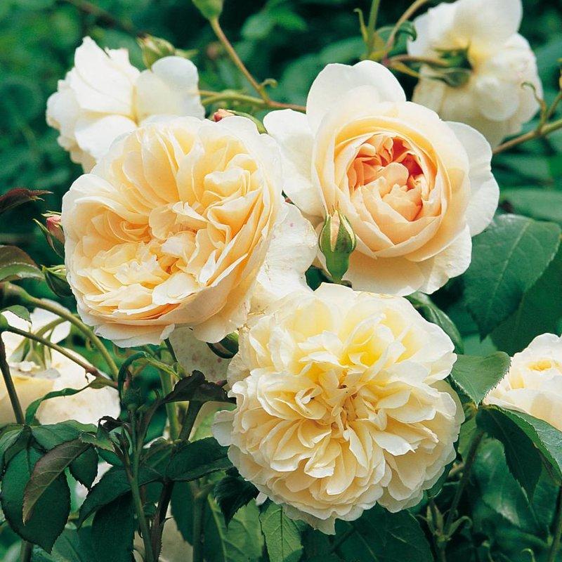 Rose 'Lichfield Angel'