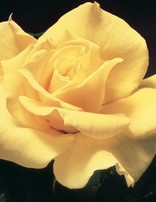 Rose 'Midas Touch'