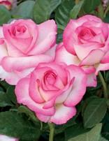 Rose 'Miss Congeniality'