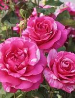 Rose 'Parade Day'