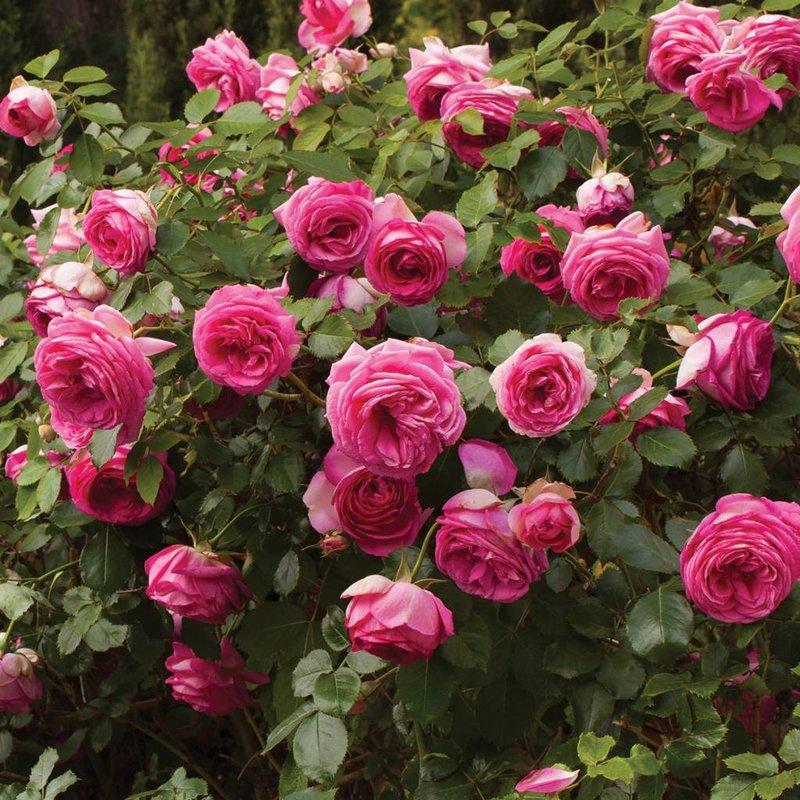 Rose 'Pretty In Pink Eden Climber'