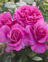 Rose 'Pretty Lady Rose'