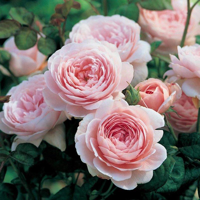Rose 'Queen of Sweden'
