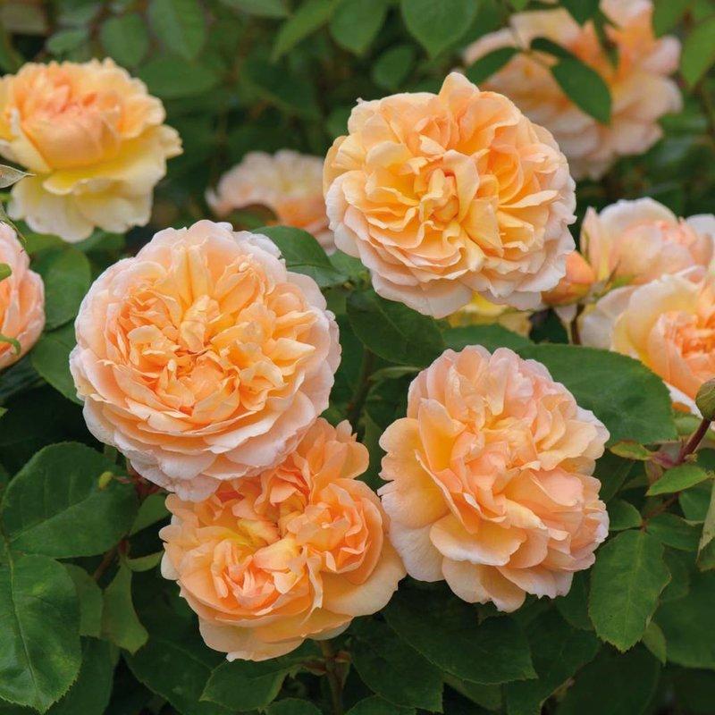 Rose 'The Lady Gardener'