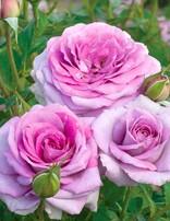 Rose 'Violet's Pride'
