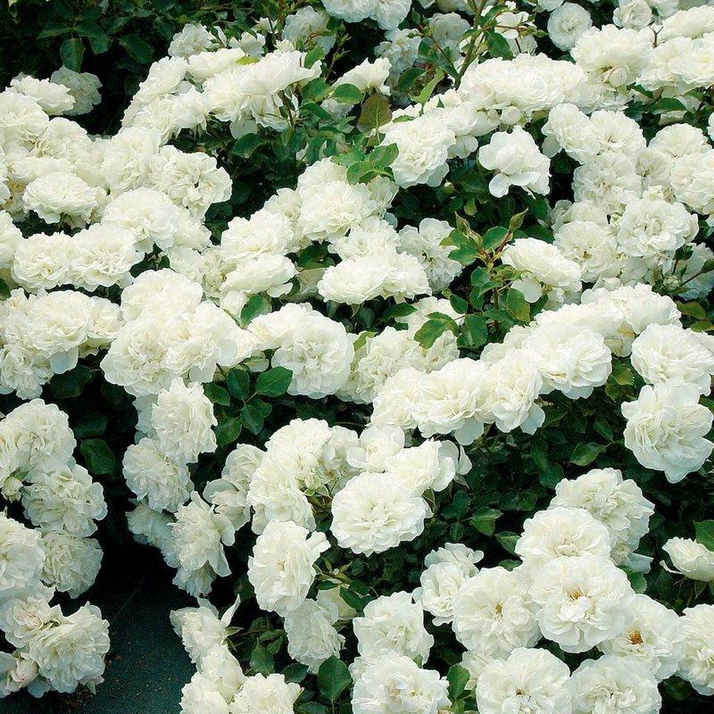 Rose 'White Meidiland'