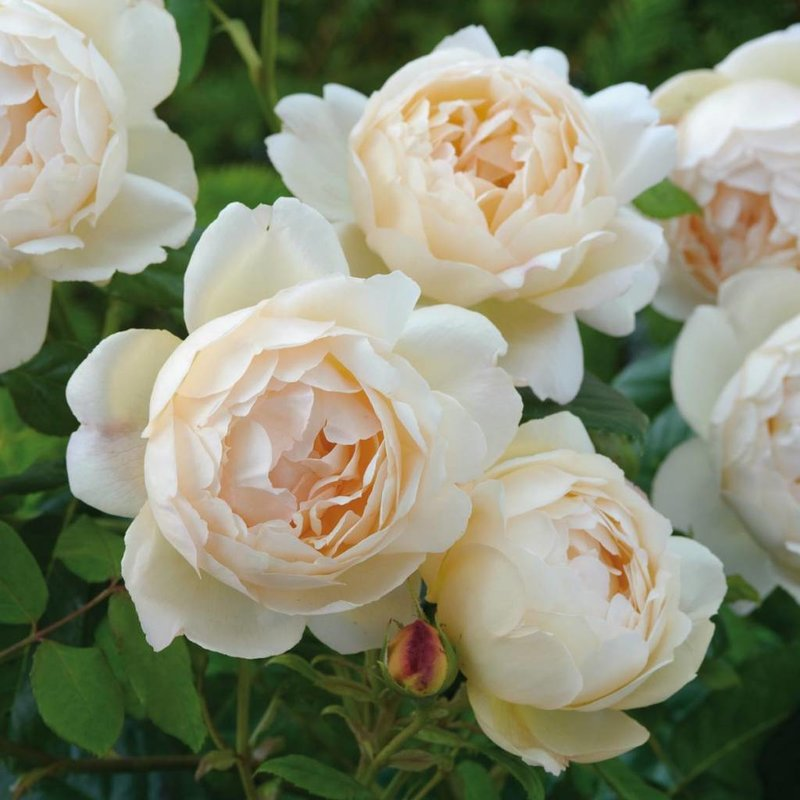Rose 'Wollerton Old Hall'