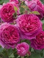 Rose 'Young Lycidas'