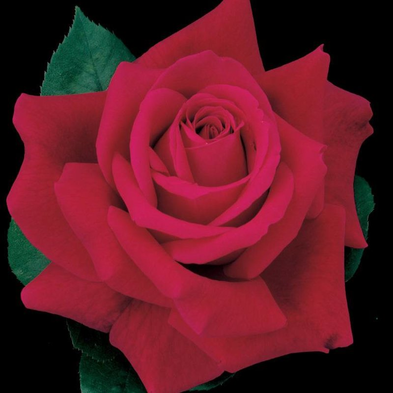 Rose 'Mister Lincoln'